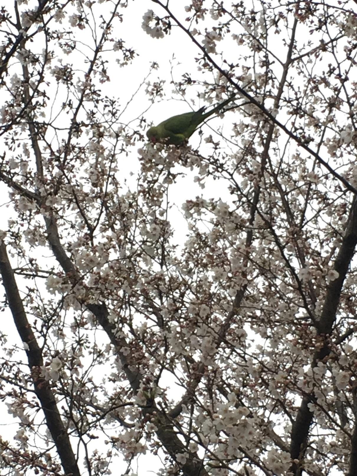熱帯の鳥と桜花