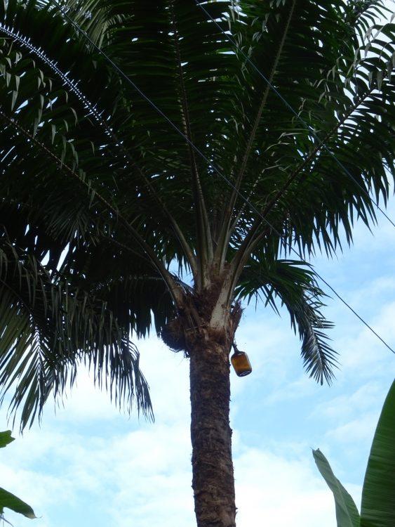 A Solidão da Palmeira