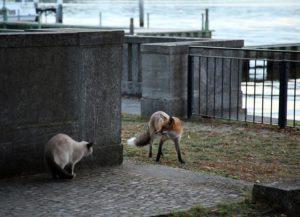 Fuchs am Wannsee